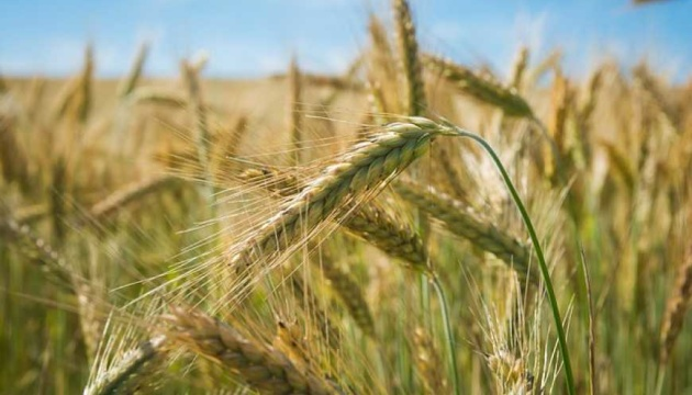Ukraine exported a record 85 thousand tons of rye