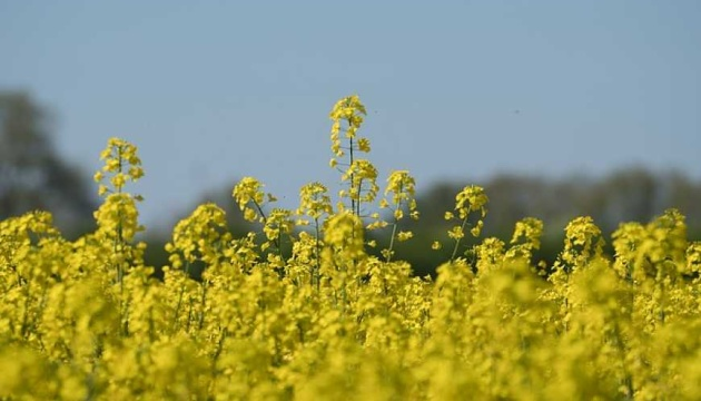 Record rapeseed is expected in Ukraine